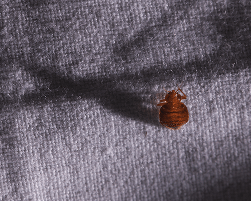 Bed Bug Upholstery Treatment